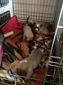 Jack Russell cross chihuahua puppy's