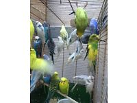Beautiful Best Quality Budgies from 7 months to 18 months