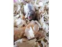Beautiful baby rat kittens available soon
