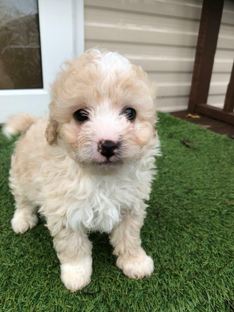 Toy Dogs For Sale