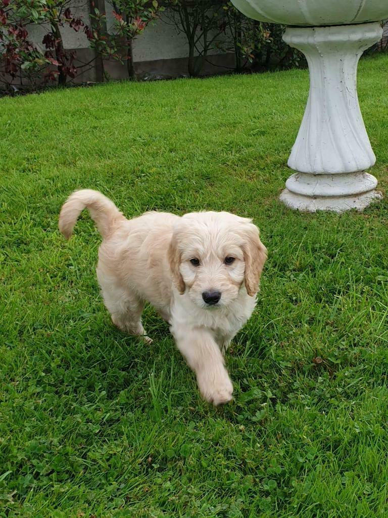 Labradoodle puppies for sale | in Huntly, Aberdeenshire | Gumtree