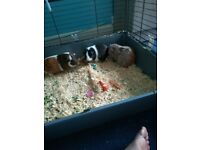 3 female Guinea pigs with cage and extras
