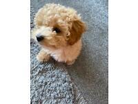 Poochon puppy