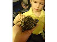 7 month ball python for gecko