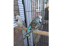 2 male budgies for sale. With cage