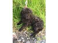 3 months old Bedlington/poodle female