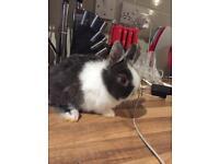 Gorgeous Netherland dwarf bunny
