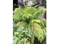 Australia tree ferns
