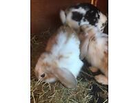 Lop ear rabbits