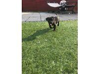Staffordshire Bull Terrior Pups