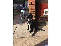 Springador puppies for sale