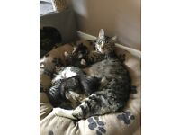 3 yr old female tabby cat