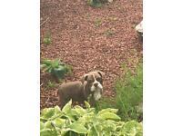 Bulldog Pups for Sale