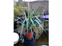 Large flowering yucca plant forsale