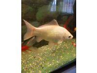 Koi carp fish free to goog home