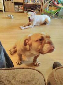 english bulldog boy 6moths fawrn pedigree