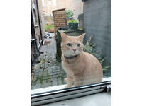 Found Ginger Cat Walthamstow