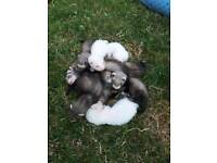Ferret Kits for sale.