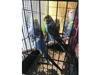 Baby budgies for sale - All colours available