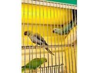 Budgies for sale - All colours