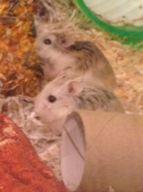 Two tiny precious Russian dwarf hamsters for sale (inc their cage etc Approx 18 mos old. TWO!)