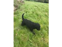 Labradoodle puppy for sale.