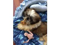 Shih tzu full pedigree with papers and Kc reg