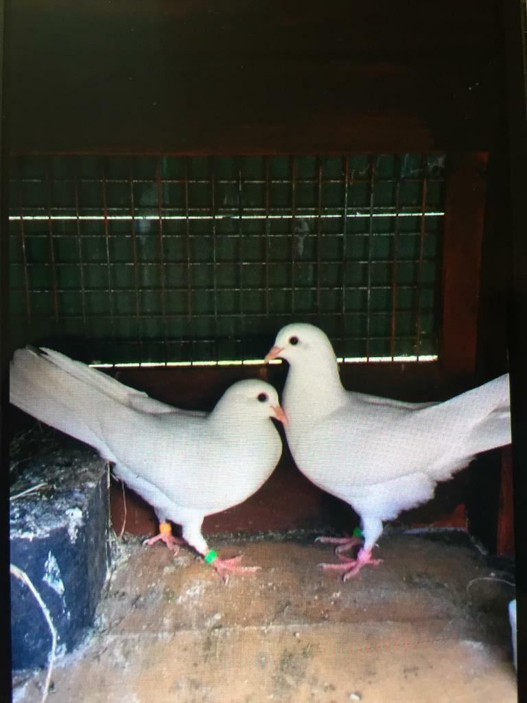 Doves For Sale >> 2 Pairs Of White Doves For Sale In Linwood Renfrewshire Gumtree