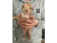 4 alapha x XL staffy puppies