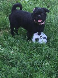 Pug x patterdale (Price Reduced)