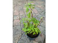Fruit trees, Ivy, shrubs for sale