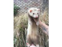 Ferrets for sale