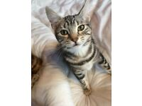 Female silver marble Bengal available