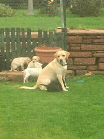 Beautiful Labrador puppies-KC registered