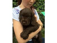 Beautiful KC registered show cocker spaniel puppies