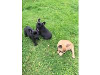 5 kc registered french bulldog puppies