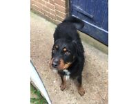 Forever loving home needed for Rottie x Jack Russel