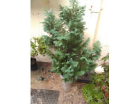 Lovely Leylandii Conifer