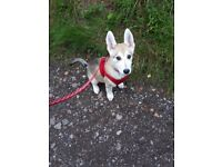 Husky cross Malamute for sale