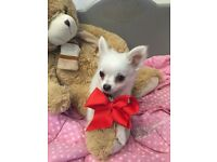 Tiny white chihuahua long coat little boy