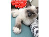 Ragdoll - bluepoint kitten