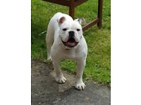British bulldog/old tyme bulldog cross 7 months old great off lead fully house trained