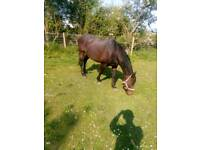 ***16HH BAY THOROUGHBRED FOR SALE***