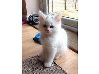 Maincoon x kittens for sale
