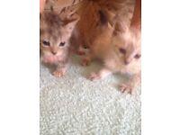 Kittens for sale white kitten £50tabby kittens £40 black kittens £10 litter trained well handled