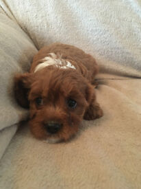 Cavapoo pups ready now (reds)