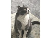 4 year old female cat to a good home - British shorthair cross