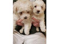 2 Bichon frise pups for sale