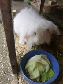 Rabbit for free