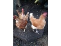 Chickens free to a good home